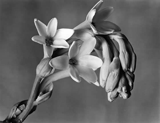 2-Imogen-Cunningham-Tuberose-1920