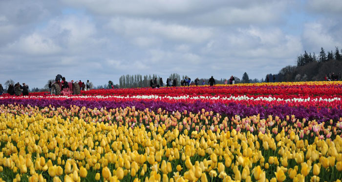 Festival de Tulipanes en Woodburn, Oregon