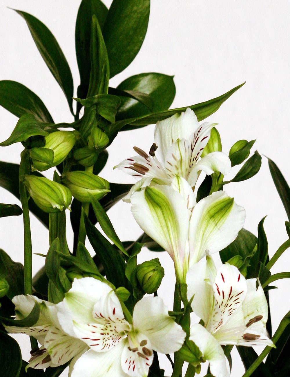 Alstroemeria blanca 5