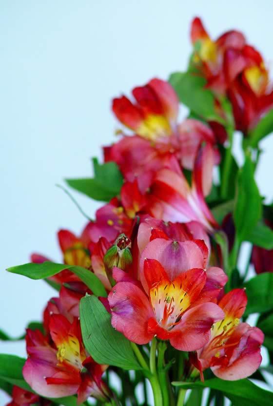 Flores de Alstroemerias rojas