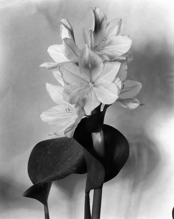 Blossom-of-Water-Hyacinth-1920