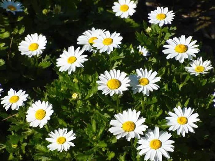 Chrysantemum paludosum