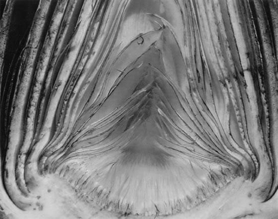 Edward-Weston-artichoke-2