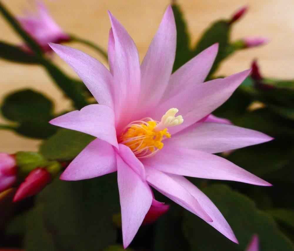 Epiphyllum 88