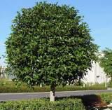 Ficus nitida australis