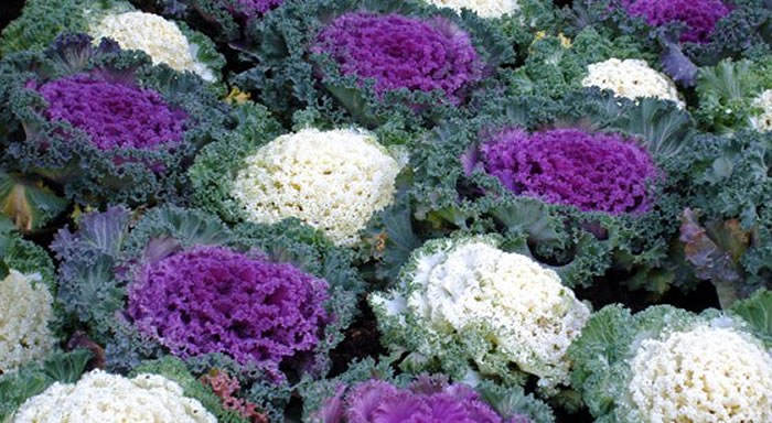 Flores de brassica oleracea