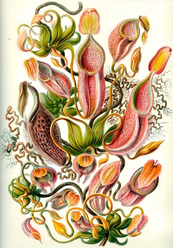 Haeckel_Nepenthaceae2