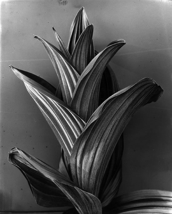 Imogen-Cunningham-Hellebore-1926