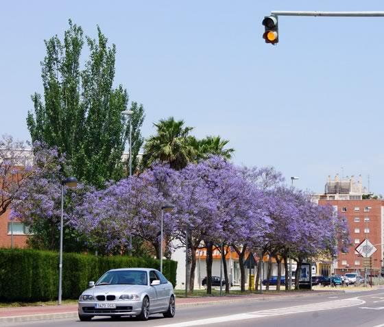 Jacaranda como árbol ornamental