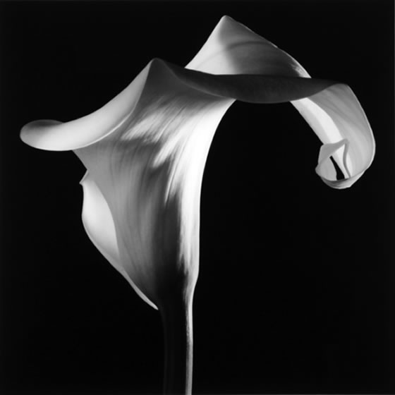 Mapplethorpe-Calla-Lily
