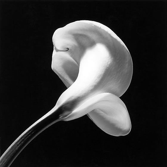 Mapplethorpe_calla-lily_1984