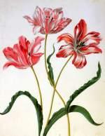 aria Sibylla Three tulips Sun