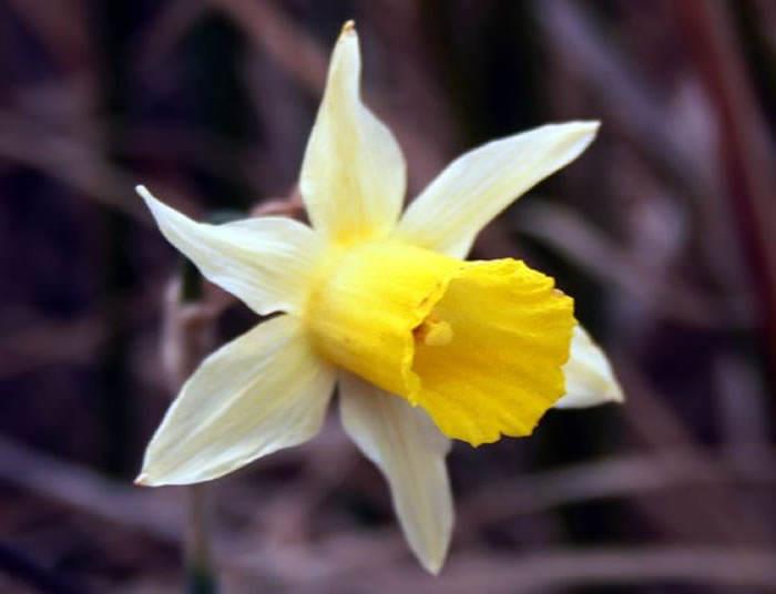 Narcissus nevadensis