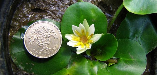 Nymphaea thermarum, el lirio más pequeño del mundo