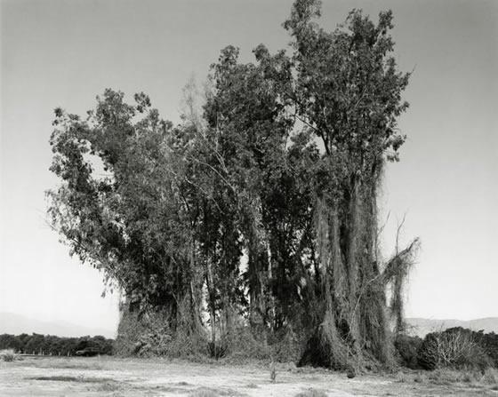 Remains of a Eucalyptus
