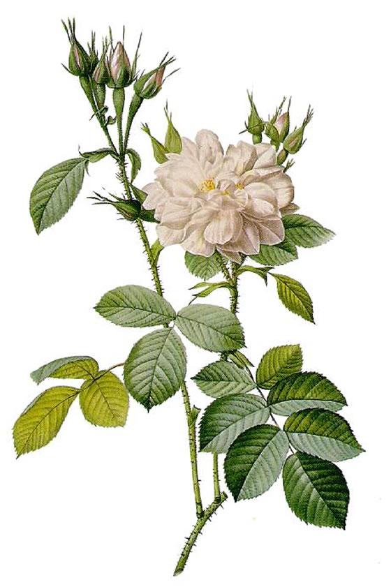 Rosa-Bitera-alba-Rosier-des-quatre-Saisons-a-fleurs-blanches