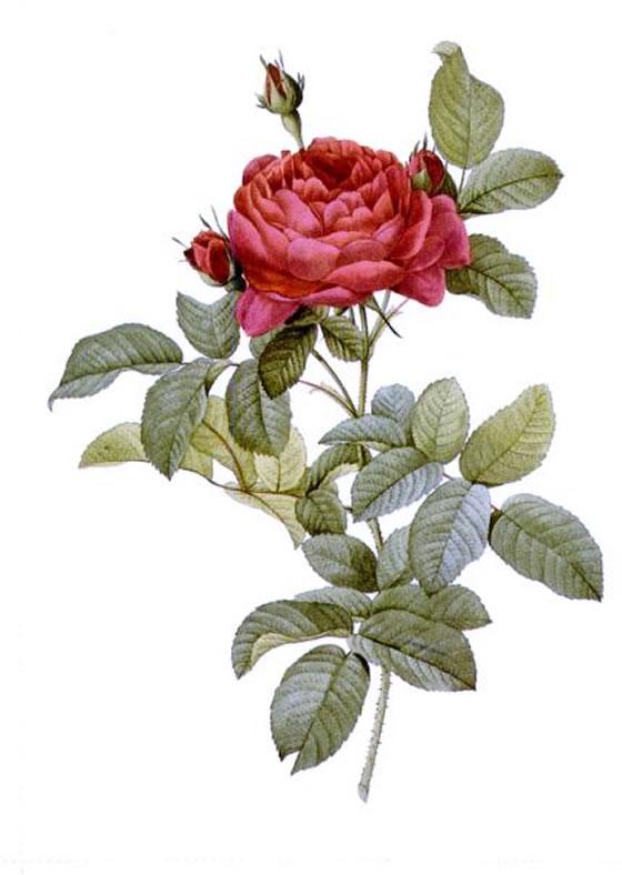 Rosa-Gallica-Pontiana
