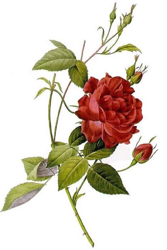 Rosa-Indica-Cruenta