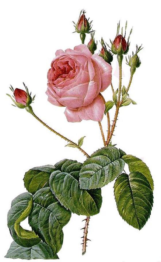 Rosa-centifolia-Bullata