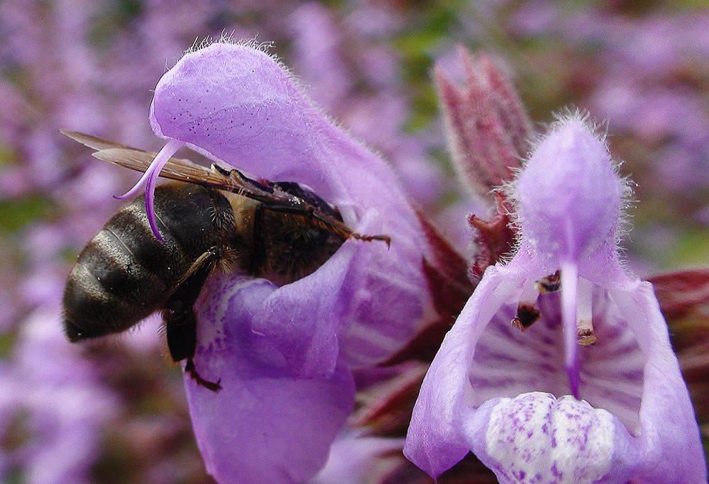 abeja salvia