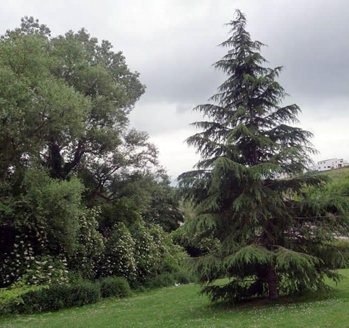 abeto en el jardin