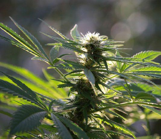 Abonos de floración para marihuana