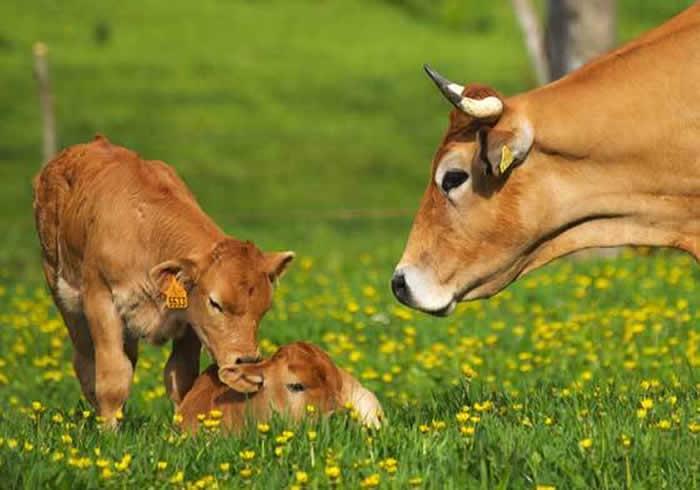 abono orgánico vacas