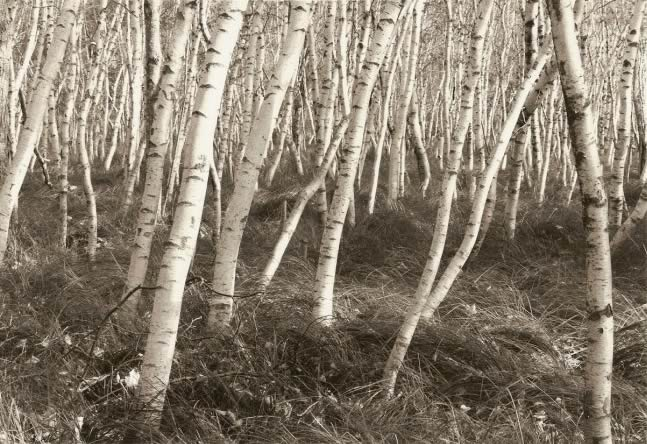 Tom Zetterstrom, Acadia Birch Grove