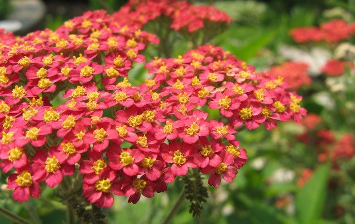 Flores de Achillea millefolium