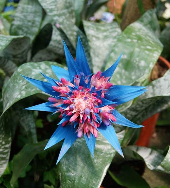 Aechmea fasciata de color azul