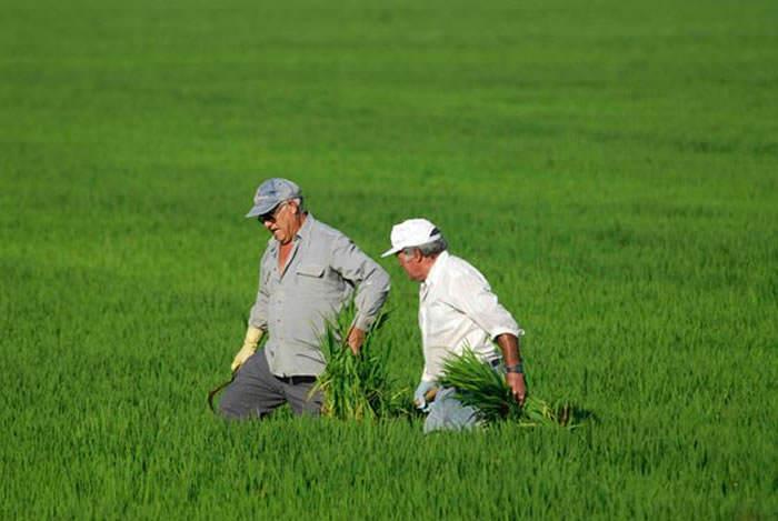 agricultores arroceros