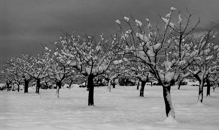 Almendros con nieve