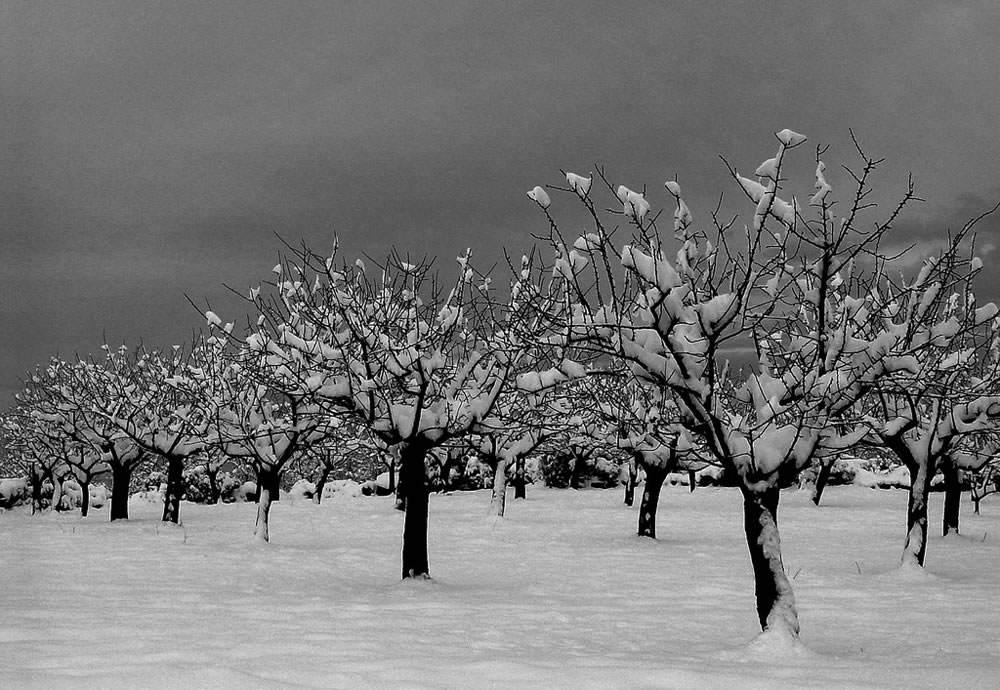 almendros con nieve 1