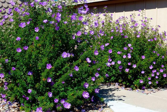 Alyogyne delightfully en jardinería