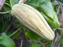 Araujia sericifera, la planta cruel
