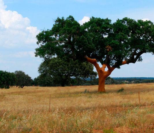 Árbol de alcornoque