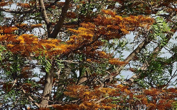 Árbol de Grevillea robusta
