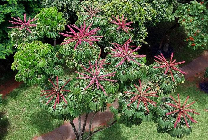 Flores de Schefflera actinophylla