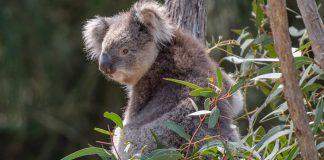 Plantas ornamentales de Australia