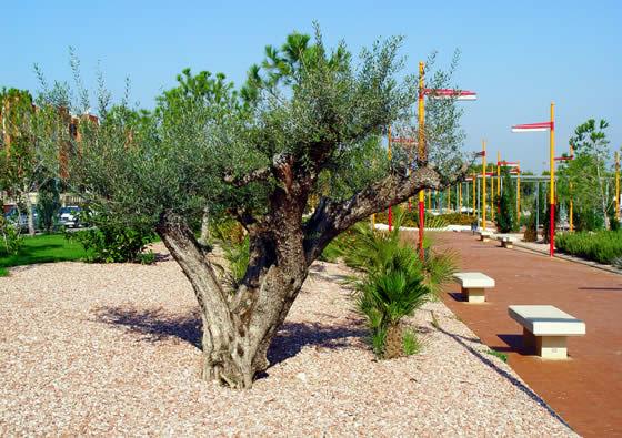 Olivo un rbol de hoja perenne for Arboles frutales de hoja perenne para jardin
