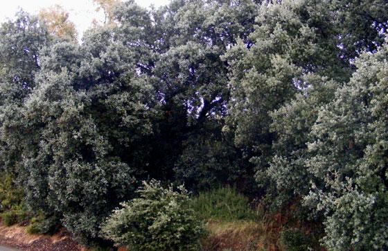 Árboles de Quercus ilex