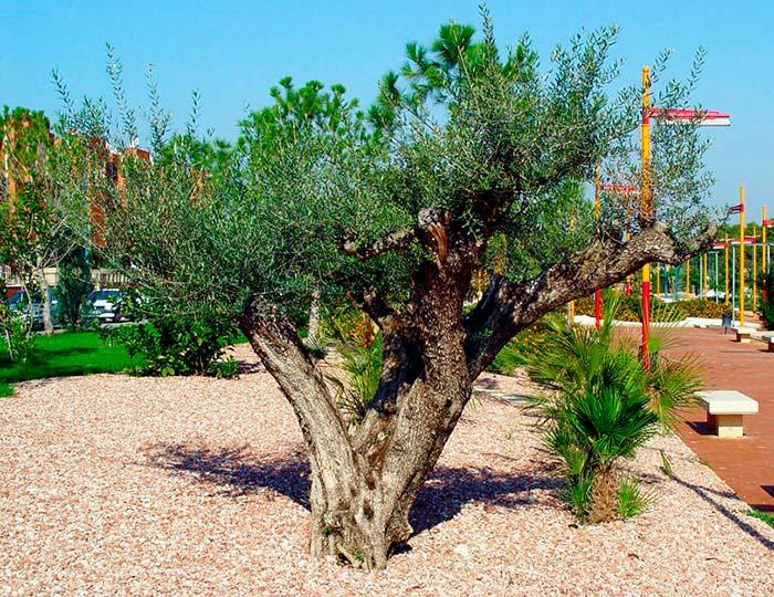 Rboles de hoja perenne for Arboles ornamentales hoja perenne para jardin