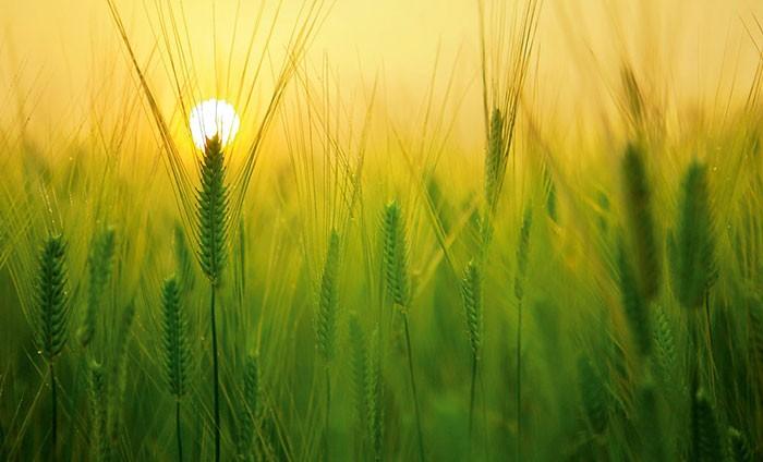 Azufre agrícola como fertilizante