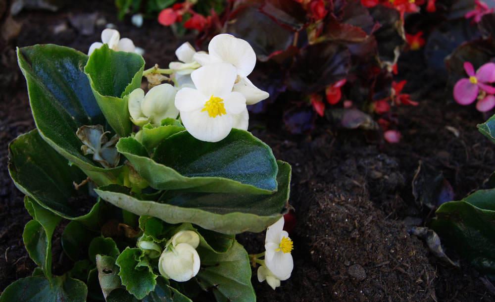 Begonias semperflorens 1