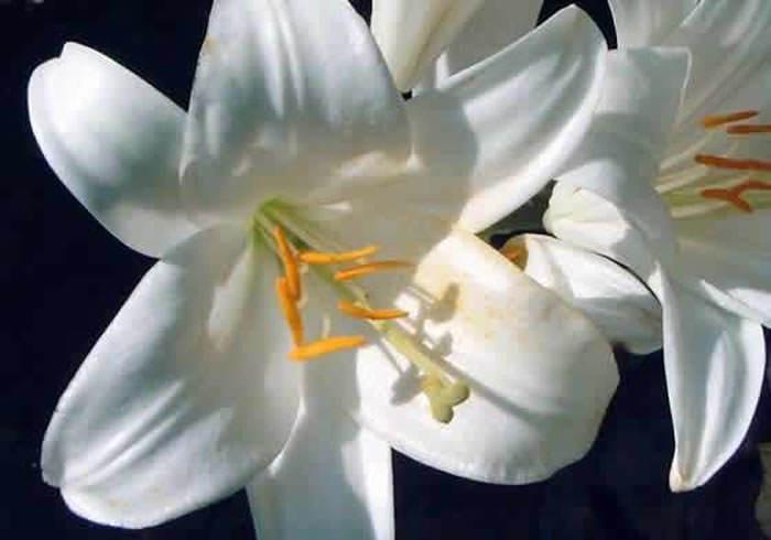 Blanca azucena