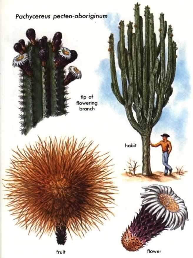 cactus-de-san-pedro