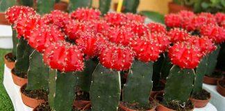 cactus injertados