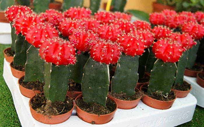 Cuidados de los cactus injertados revista de flores for Cactus cuidados exterior