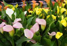 Cultivo de la cala de colores