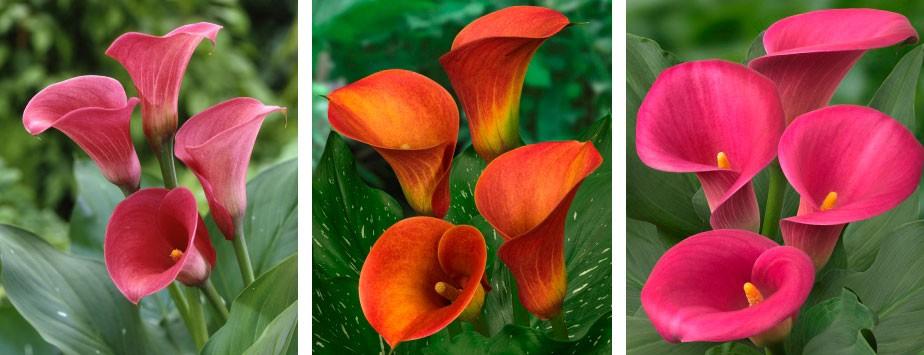 Plantas de cala para flor cortada